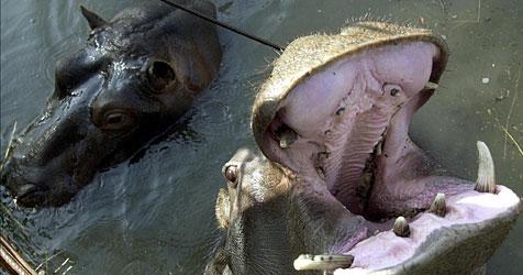 Montenegro: Zoo-Nilpferd spazierte durch Dorf