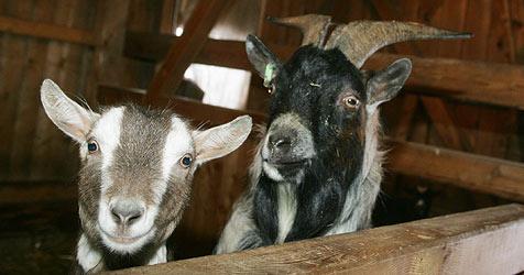Schon drei Ziegen von Tierhasser in Drösing vergiftet (Bild: Sepp Pail)