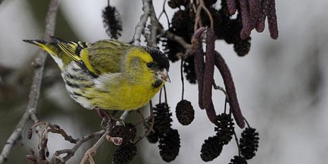 Singvogelfang im Salzkammergut startet wieder (Bild: dpa/Boris Roessler)