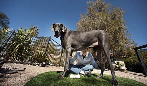 """""""Giant George"""" ist der größte Hund der Welt"""