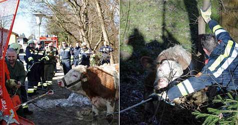 Stier nach Sturz über Böschung an der Ybbs gerettet (Bild: FF Amstetten)
