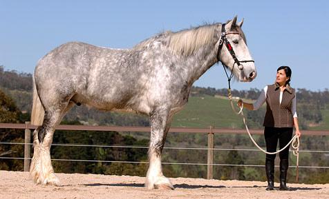 """Hengst """"Noddy"""" ist das größte Pferd der Welt"""