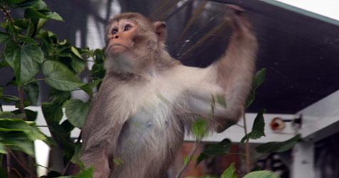 Seit einem Jahr flüchtiger Affe pflanzt Florida