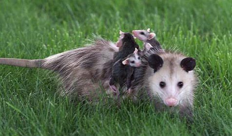 Betrunkener gibt Opossum Mund-zu-Mund-Beatmung (Bild: AP)