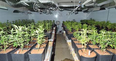 Hanfplantage im Weinviertel mit 256 Pflanzen entdeckt (Bild: Sicherheitsdirektion NÖ)
