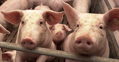 Aus für geplanten Schweinemast in Lichtenwörth (Bild: dpa/dpaweb/dpa/Matthias Schrader)