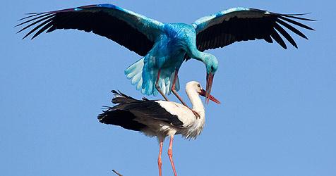 Blauer Storch aus Deutschland ist frisch verliebt (Bild: dpa-Zentralbild/Patrick Pleul)
