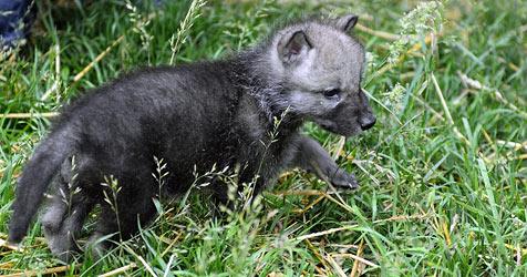 Wolf Science Center im Wildpark Ernstbrunn eröffnet (Bild: APA/Barbara Gindl)