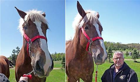 """""""Big Jake"""" ist das größte Pferd der Welt (Bild: AP)"""