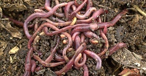 Neuseeländische Diebe stehlen 8.000 Würmer (Bild: APA/dpa/Martin Schutt)
