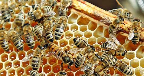Gefährliche Maisbeize - Imker fürchten um Bienen (Bild: Reinhard Holl)