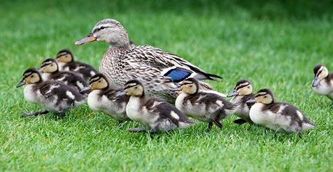 Entenfamilie hält Sicherheitskräfte auf Trab (Bild: dpa/dpaweb/dpa/A2931 Bernd Weißbrod)