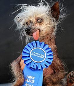 """USA trauern um den """"hässlichsten Hund der Welt"""""""