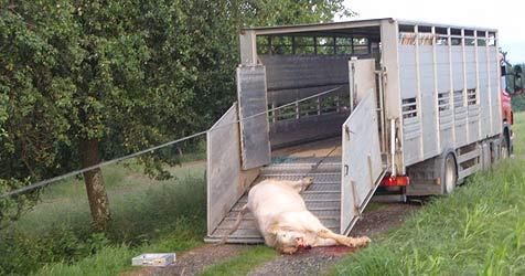 Auto landet in Wels-Land in Graben - Tiere büxen aus (Bild: FF Gunskirchen)