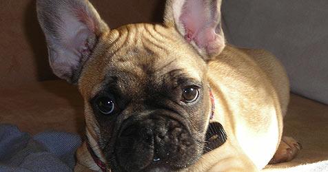 Zwei wertvolle Hundewelpen aus Garten entführt (Bild: Privat)
