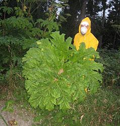Feuerwehr muss giftigen Bärenklau beseitigen (Bild: FF Vorderweißenbach)