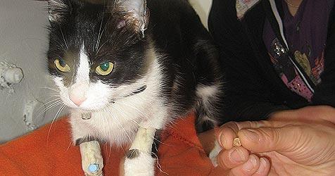 Katze in Auwiesen von Projektil durchbohrt (Bild: Privat)