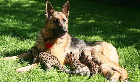 Schäferhündin in russischem Zoo säugt Puma-Babys (Bild: EPA)