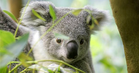 Südaustralien sucht Biertester, Koala-Fänger & Haizähler