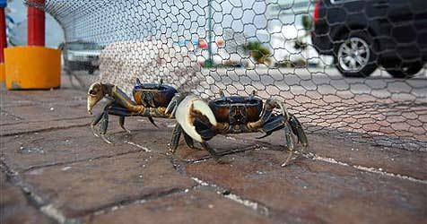 Krabben-Lotse für Nationalpark in Taiwan gesucht
