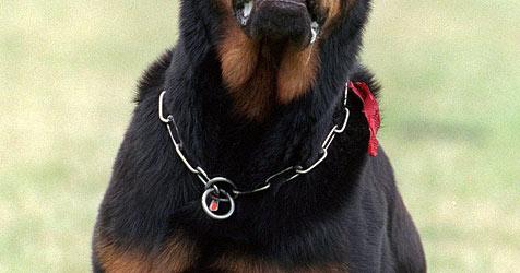 Nach Rottweiler-Attacke in Salzburg: Besitzer angeklagt (Bild: APA/dpa/Bernd Thissen)