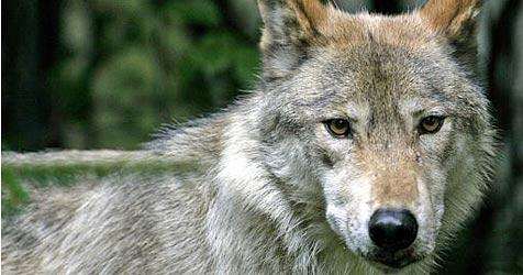 Wolf treibt im Schneeberggebiet sein Unwesen (Bild: AP)