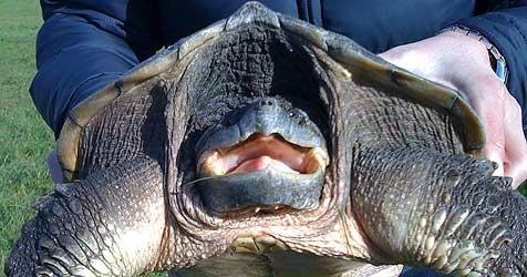 Schildkröten im Mühlviertel aus Badeteich geholt (Bild: APA/Roland Huber)