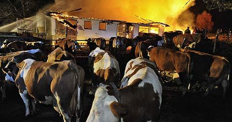 Vier Kühe verenden bei Scheunenbrand in Lambrechten (Bild: Manfred Fesl)