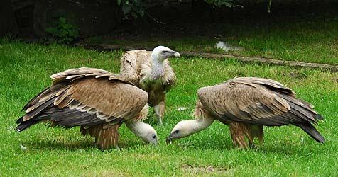 Geiermännchen im Zoo Münster hatten sich zu lieb (Bild: Allwetterzoo Münster)