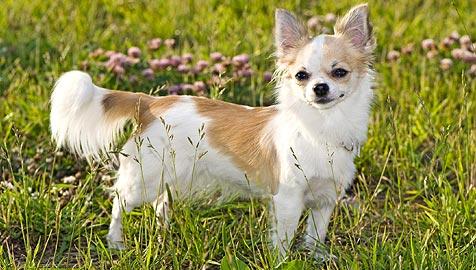 Chihuahua in Japan als Polizeihund aufgenommen (Bild: © 2010 Photos.com, a division of Getty Images)