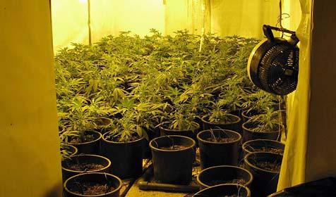 Cannabis-Plantage hinter Geheimtür im Flachgau entdeckt (Bild: sicherheitsdirektion NÖ)