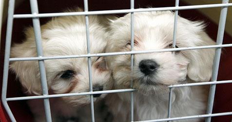 Illegaler Welpen-Verkauf - viele Hunde krank (Bild: Markus Tschepp)
