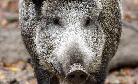 Warnung vor Wildschweinseuche auch in NÖ (Bild: dpa/A3778 Fredrik von Erichsen)