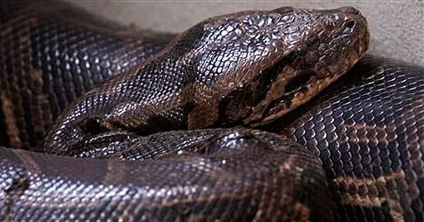 """Pythons geben sich in Kambodscha das """"Ja-Wort"""""""
