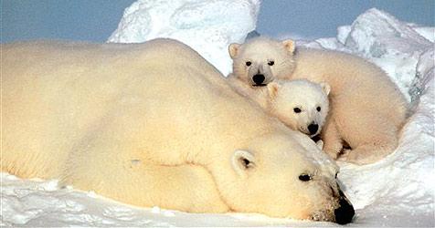 Island gewährt gestrandeten Eisbären Asyl (Bild: AP)