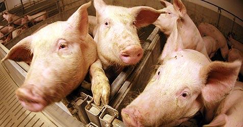 NÖ: 50 Schweine in Jauchegrube gestürzt (Bild: APA/HELMUT FOHRINGER)