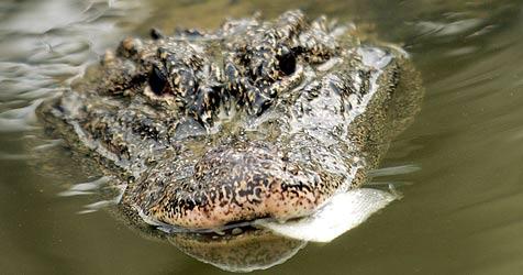 Handy klingelt aus ukrainischem Krokodil-Bauch