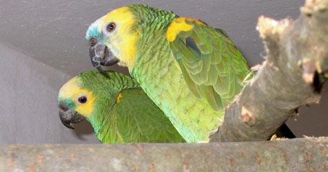 Das Papagei-Asyl gibt Vögeln ein neues Zuhause (Bild: Michael Perkmann)