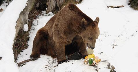 """Braunbär """"Fritz"""" feiert mit Keksen und Schlagobers (Bild: APA/Alpenzoo Innsbruck)"""
