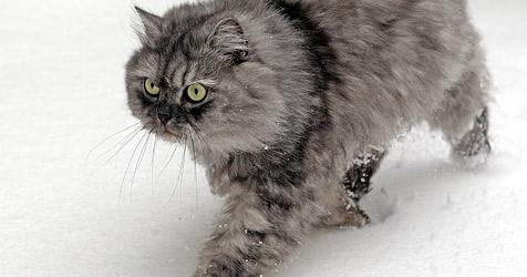 Britischer Premier will eine Katze in Staatsdienst stellen (Bild: APA/GEORG HOCHMUTH)