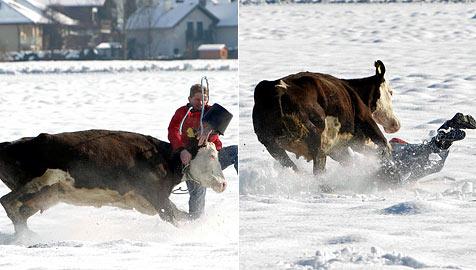 """Wildes """"Kuh-Rodeo"""" auf Schnee wie im Wilden Westen (Bild: Markus Tschepp)"""