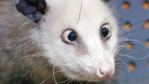 Schielendes Opossum Heidi wird Oscar-Präsentator