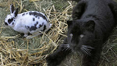 Panther Paulchen liebt in deutschem Zoo Kaninchen Lisa (Bild: APA/dpa/Holger Hollemann)