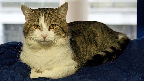 "Kater ""Larry"" jagt jetzt Ratten in der Downing Street (Bild: Battersea Dogs and Cats)"