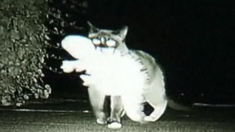 """USA: """"Klepto-Kater"""" geht nachts auf Diebestour (Bild: Animal Planet)"""