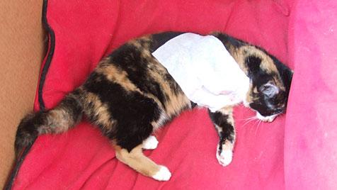 Tierhasser legte Springfallen aus - Katze verlor Bein (Bild: salzi)