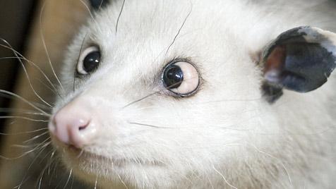"""Opossum """"Heidi"""" an Altersschwäche gestorben"""