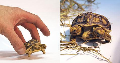 Zweiköpfige Schildkröte in der Slowakei geschlüpft (Bild: EPA)