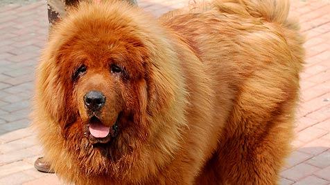 """Tibet-Dogge """"Hong Dong"""" ist teuerster Hund der Welt (Bild: EPA)"""