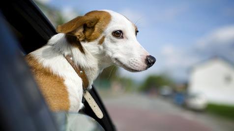 Wie Sie Ihren Hund im Auto richtig sichern können (Bild: © 2011 Photos.com, a division of Getty Images)